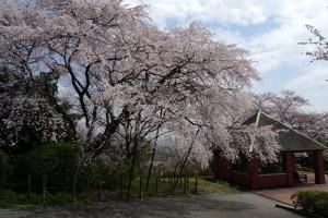 半田山の枝垂れ桜